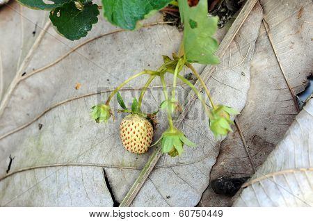 Unripe Strawberries