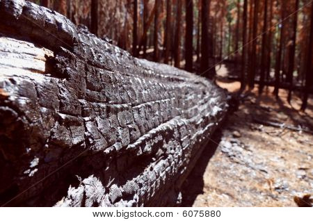 Burnt Log