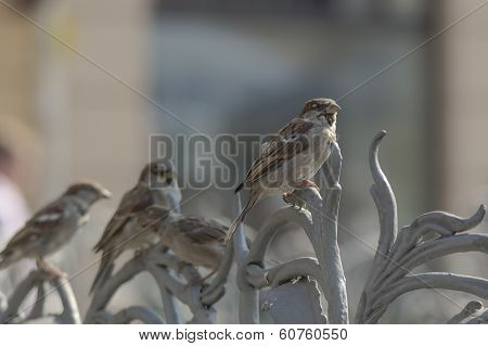 sparrows parade