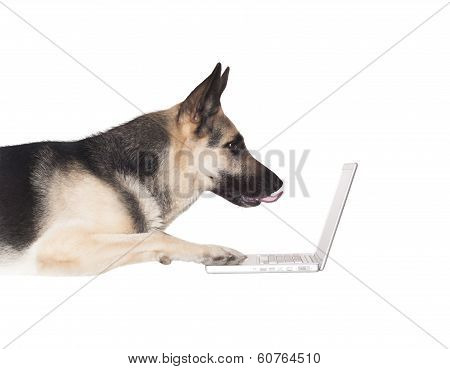 Alsatian Dog And Laptop Computer