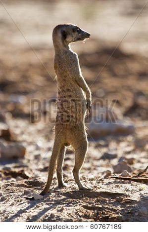 Suricate Sentry Standing In The Early Morning Sun Looking For Possible Danger