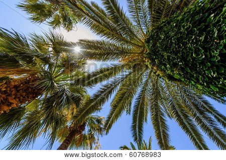 Exotic Palms With Big Green Leaves, Photo Taken From Bottom.