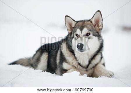 Alaskan Malamute Puppy Lying On The Snow