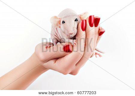 Rat On A Hand.