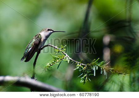 Ruby-throated Hummingbird Perched On An Evergreen Branch