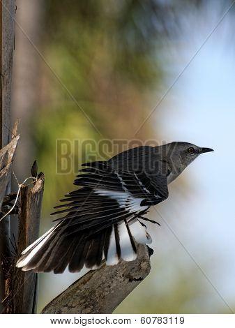 Northern Mockingbird Displaying Wing