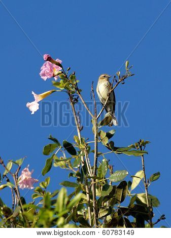Tiny Palm Warbler on Top of Flowering Tree