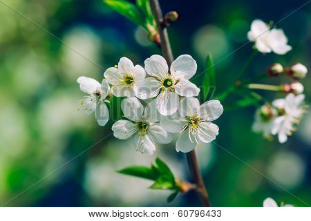 Blossoming Tree Brunch With White Apple Or Cherry Flowers On Green And Dark Blue Background, Macro,