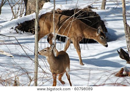 Doe And Fawn In The Snow