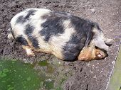 picture of pot bellied pig  - A pot - JPG
