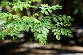 stock photo of moringa  - eye level view of the leaves at the top of a young moringa tree used for alternative medicine - JPG