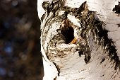 Hollow In The Birch Trunk