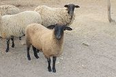 pic of suffolk sheep  - Suffolk black - JPG