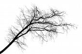 Black Silhouette Of Tilt Leafless Tree Isolated On White
