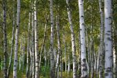 stock photo of birchwood  - Birchwood at autumn in the day - JPG