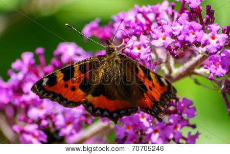 A beautiful Tortoiseshell Butterfly