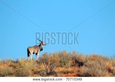 Eland antelope (Tragelaphus oryx) on a sand dune, Kalahari desert, South Africa