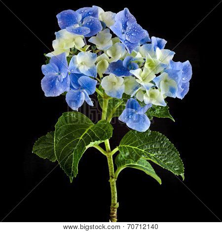 Hyndrangea Hortensia Flower with water drops on black background