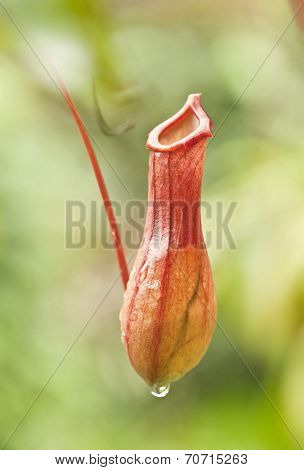 nepenthes villosa - pitcher plants