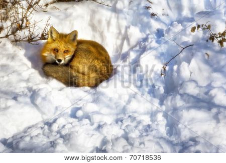 A wild fox sleeping in a urban garden in winter