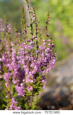 Heather In The Summer