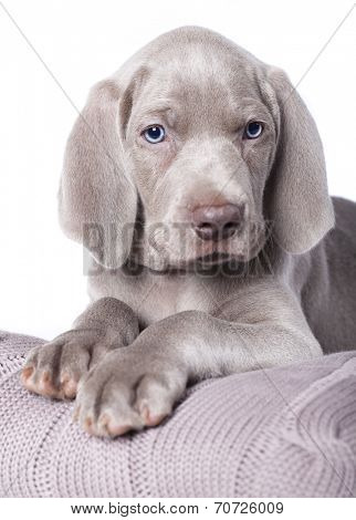Weimaraner puppy on white