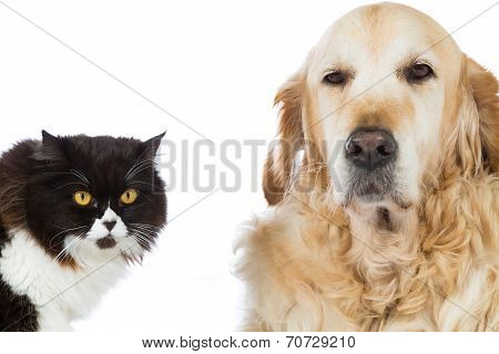 Persian Cat With Golden Retriever Dog
