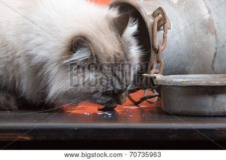 Cat Licking Spilled Mik