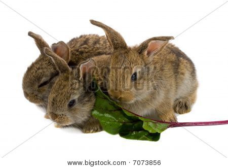 Tree Little Rabbits Eating The Leaf Of Red Beet