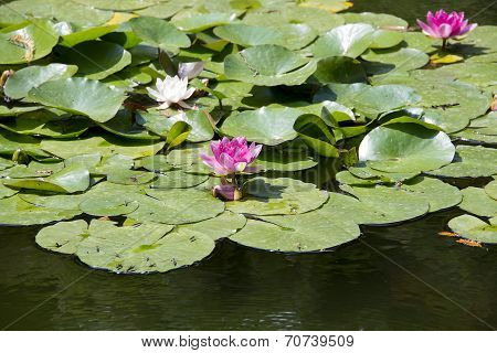 Water Lilies Or Lotus Flowers