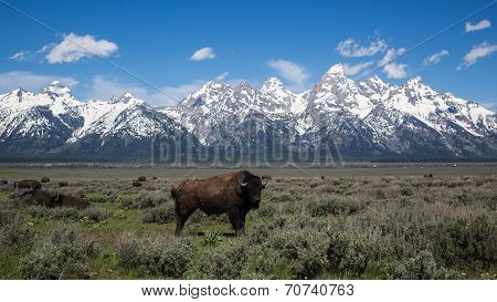 Large buffalo at Grand Teton National Park