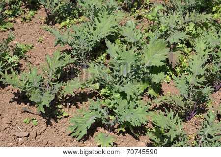Kale growing in field or vegetable garden