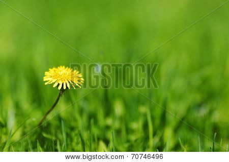 One yellow dandelion on green grass background