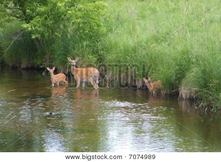 Mother Deer and her Twins enjoying the water on this hot summer day.