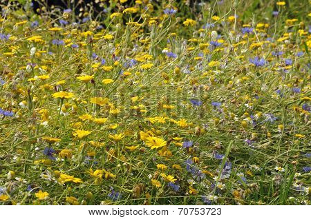 Arable Wild Flowers