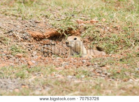 Black-tailed Prairie Dog peeking out from his burrow entrance