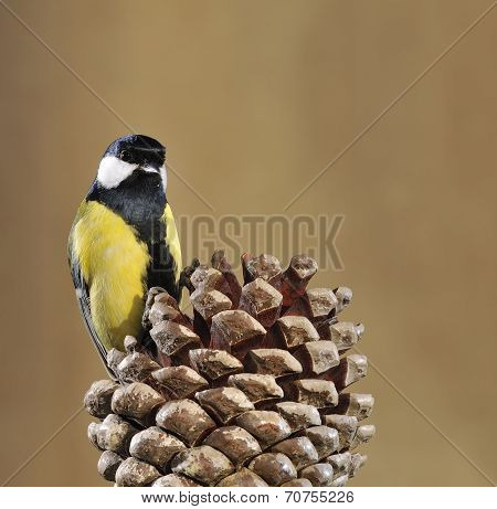 Great Tit And Pinecone.