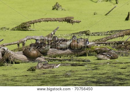 Ducks On A Log.