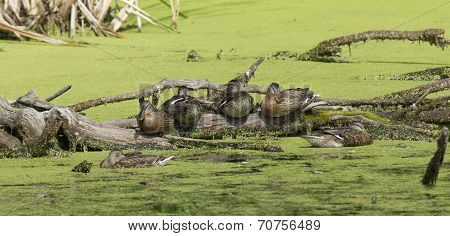 Panorama Of Ducks On A Log.