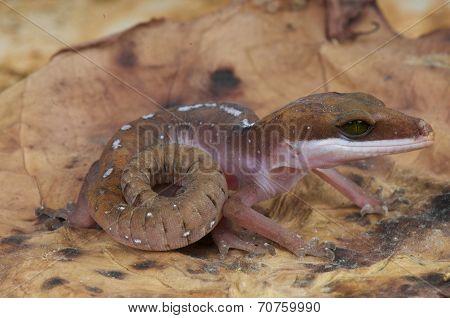 Cat gecko / Aeluroscalabotes felinus
