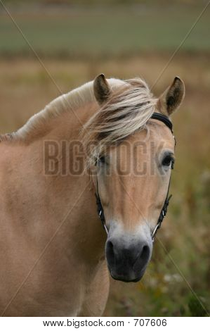 Norwegian Horse