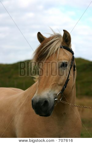 Norwegian Horse Portait