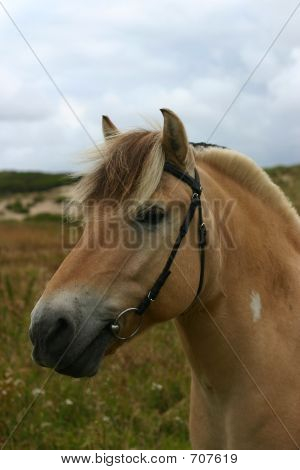 Friendly Fjord Horse