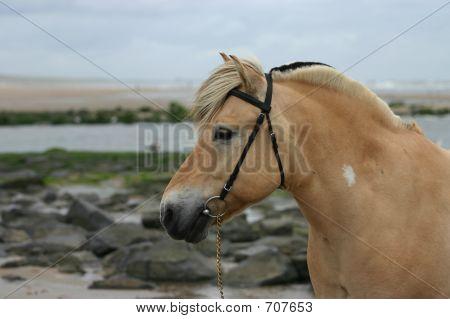 Fjord Horse Portrait