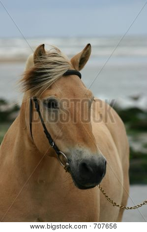 Beautiful Fjord Horse