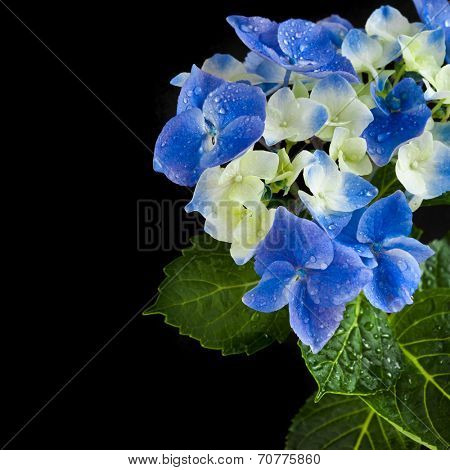 Border of Hortensia Hydrangea Flower with water drops copy space on black background