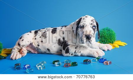 Puppy on the blue