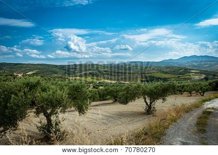 olive plantation on the Crete,Greece