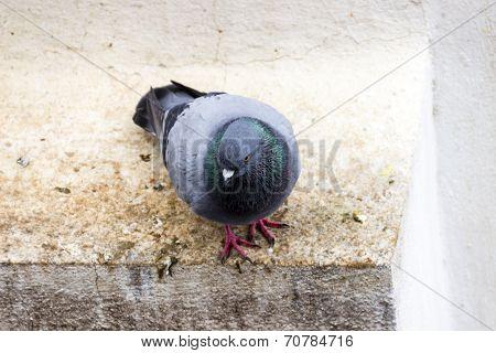 A closeup of a blue bar pigeon on a parapet wall