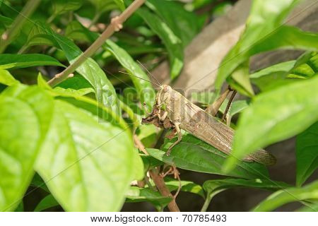 Poor Grasshopper